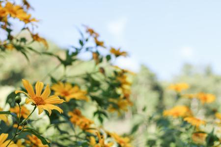japanese chrysanthemum: Tree marigold, Mexican tournesol, Mexican sunflower, Japanese sunflower, Nitobe chrysanthemum, in the north of Thailand Stock Photo