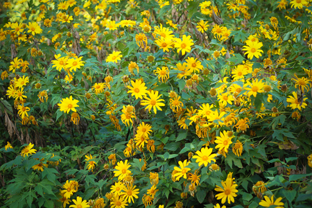 tree marigold: Tree marigold, Mexican tournesol, Mexican sunflower, Japanese sunflower, Nitobe chrysanthemum, in the north of Thailand Stock Photo