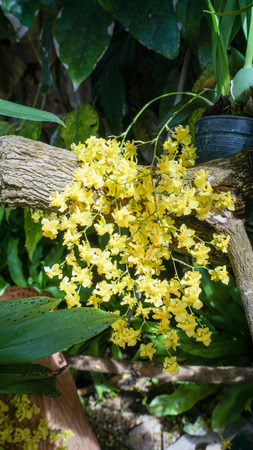 sirikit: Oncidium Orchid Flowers, Dancing Lady orchid at Queen Sirikit botanical garden, Chiang Mai, Thailand Stock Photo