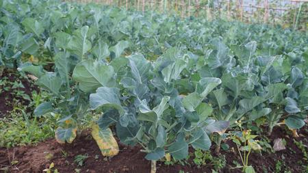 wang: vegetable garden in in Khun Wang, Doi Inthanon,Chiang Mai