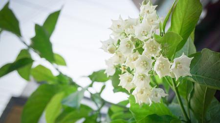 apocynaceae: read Flower Vallaris globra Ktze