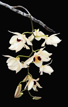 Dendrobium pulchellum, orchid flower on black background