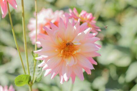 Garden Dahlia at Doi Tung,Chiang Rai,Thailand Banco de Imagens