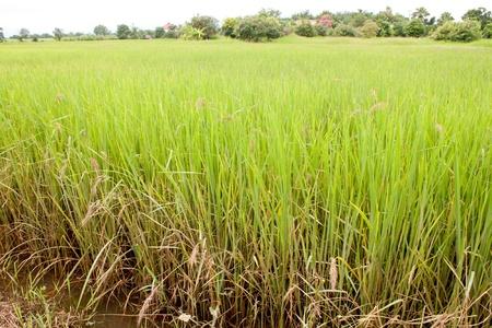 Green rice fields of northeastern Thailand.