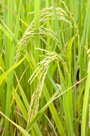 rice in a paddy field close up photo