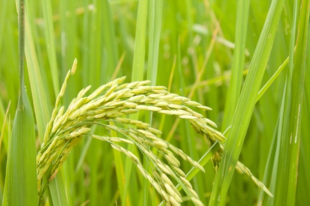 field of thai: rice in a paddy field close up Stock Photo