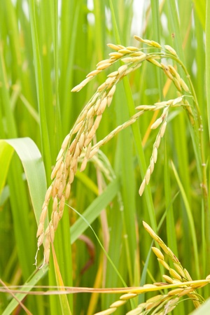 agriculturalist: rice in a paddy field close up Stock Photo