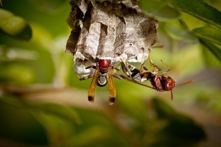 hornets work on building nest.