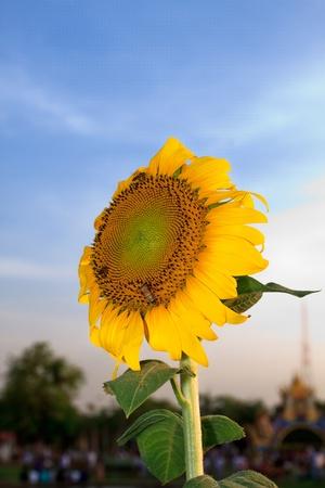 Beautiful yellow sunflowers and bee