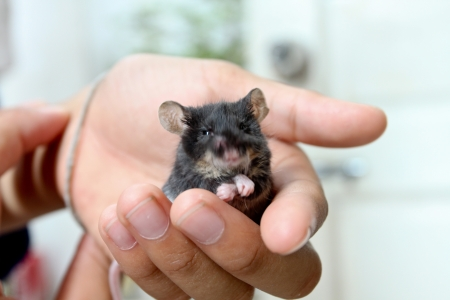 dwarf hamster: Black dwarf hamster in boy hand