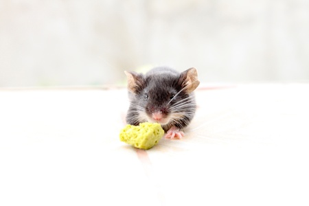 dwarf hamster: Black dwarf hamster on white isolated
