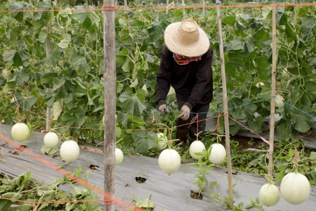 Garden cantaloupe in the northeastern part of Thailand. photo