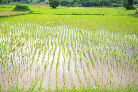 Green rice fields of northeastern Thailand