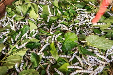 Silk worm eating mulberry green leaf nature photo