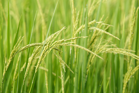rice in a paddy field close up Stock Photo