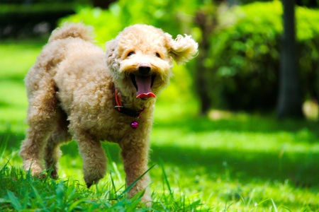 Dog Poodle Brown Stock Photo