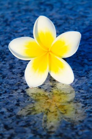 plumeria flower: plumeria