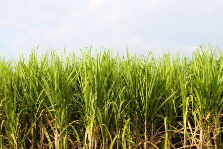 sugar cane fields Stock Photo