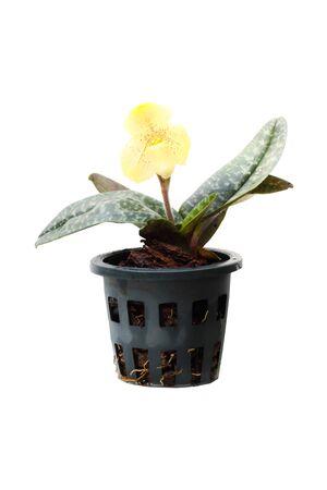 lady slipper: Paphiopedilum MaudiaePaphiopedilum MaudiaePaph Maudiae lady slipper orchid