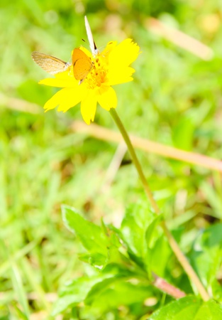 Butterfly on yellow flower photo