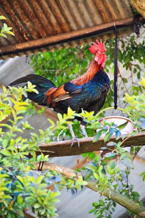 Beautiful Cock photo