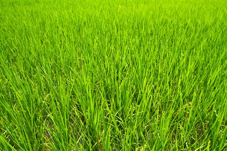 Lush green rice field photo
