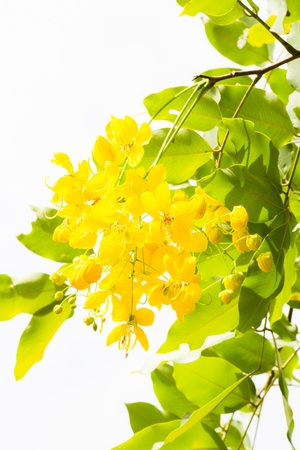 National tree of Thailand Golden Shower Tree Art Print photo