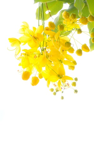 National tree of Thailand Golden Shower Tree Art Print Stock Photo - 11276569