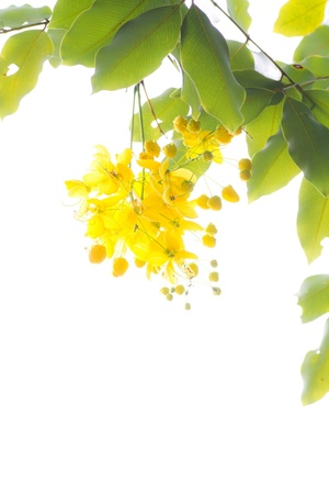 fistula: National tree of Thailand Golden Shower Tree Art Print