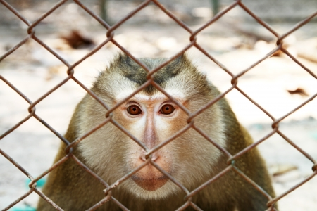 prison fence: monkey in cage Stock Photo