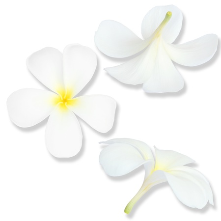 yellow plumeria flower photo
