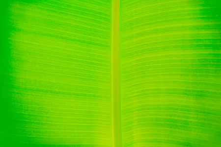 veining: Banana leaf texture background