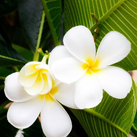 white yellow plumeria flower Stock Photo - 14377154