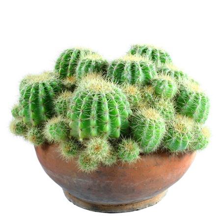prickly: cactus