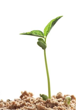 germinación: frijoles germinados