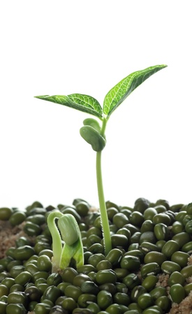 germination: beans sprouts Stock Photo