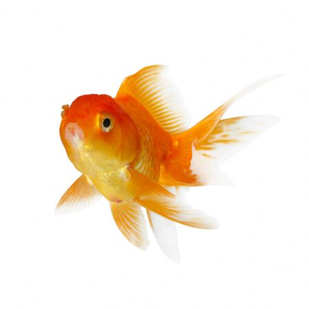Gold fish. Isolation on the white Stock Photo - 14687180