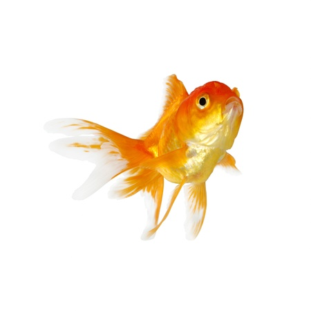 the color of silence: Gold fish. Isolation on the white Stock Photo
