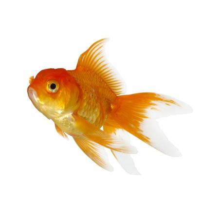 tropical tank: Gold fish. Isolation on the white Stock Photo