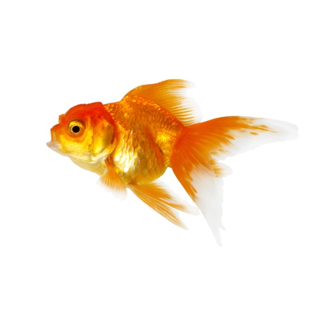 Gold fish. Isolation on the white Stock Photo - 14687182