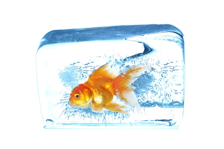 Gold fish in ice cubes photo
