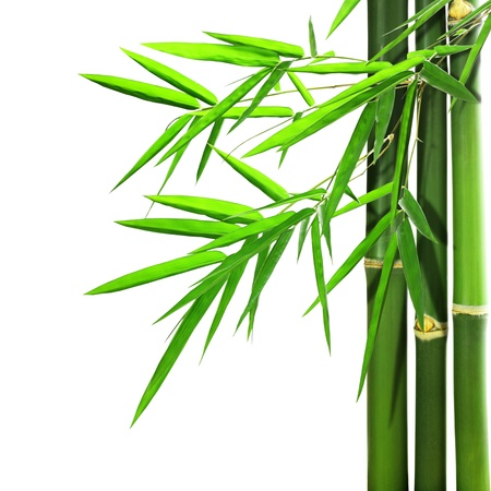 bamboo isolated on white background   photo