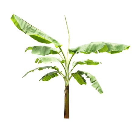 Banana tree isolated on a white background  photo