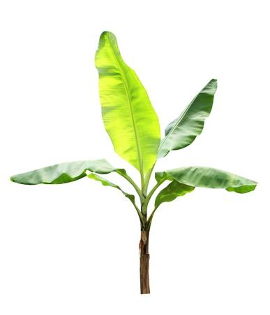 feuillage: Bananier isolé sur un fond blanc Banque d'images