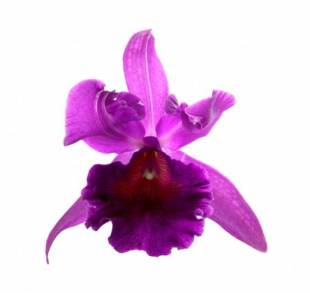 pink Cattleya Orchid isolated on a white background  photo