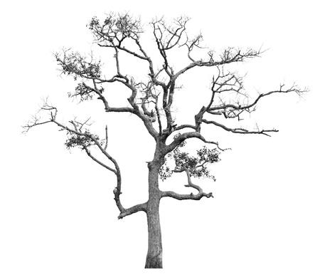 arboles secos: Los árboles muertos aislado sobre fondo blanco Foto de archivo