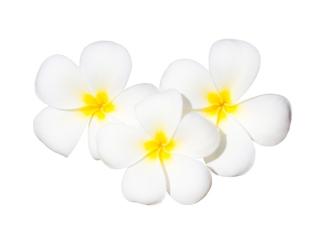 white yellow plumeria flower isolated on white background  photo