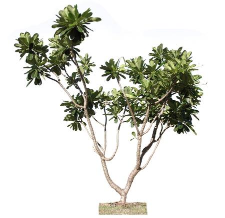 Plumeria tree (frangipani),Ornamental plants of Thailand,Tree in Thailand ,isolated on white background