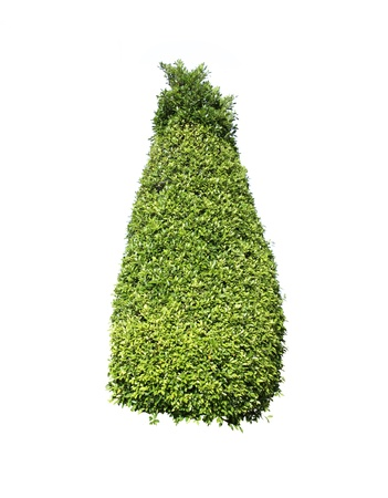 topiary: Ornamental plants of Thailand,Tree in Thailand ,isolated on white background Stock Photo