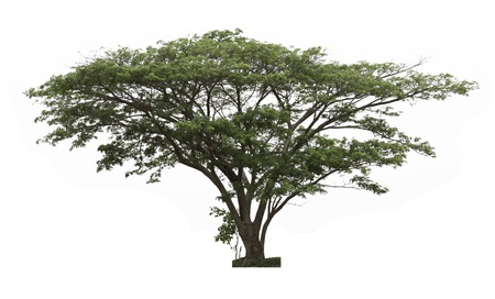 samanea saman: Rain tree  Samanea saman  ,Tree in Thailand ,isolated on white background